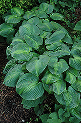 Holy Mole Hosta (Hosta 'Holy Mole') at Plant World