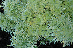Ever Goldy Artemesia (Artemisia schmidtiana 'Ever Goldy') at Plant World