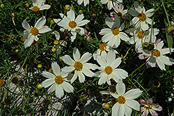 Cosmic Evolution Tickseed (Coreopsis 'Cosmic Evolution') at Plant World