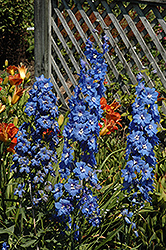 Cobalt Dreams Larkspur (Delphinium 'Cobalt Dreams') at Plant World