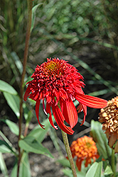 Cone-fections™ Hot Papaya Coneflower (Echinacea 'Hot Papaya') at Plant World