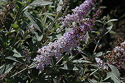 Glass Slippers Butterfly Bush (Buddleia 'Glass Slippers') at Plant World