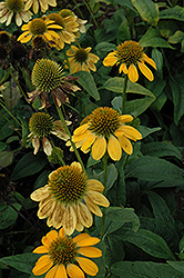 Sombrero® Lemon Yellow Coneflower (Echinacea 'Balsomemy') at Plant World