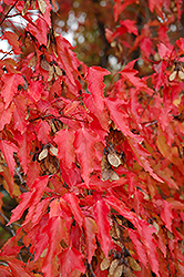 Amur Maple (tree form) (Acer ginnala '(tree form)') at Plant World