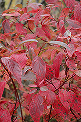 Red Osier Dogwood (Cornus sericea) at Plant World