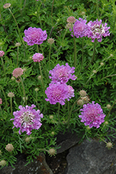 Vivid Violet Pincushion Flower (Scabiosa 'Vivid Violet') at Plant World