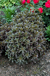 Orbit Bronze Stonecrop (Sedum 'Orbit Bronze') at Plant World