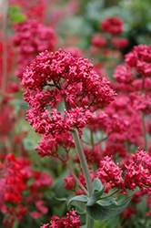 Red Valerian (Centranthus ruber) at Plant World