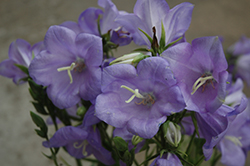 Takion Blue Peachleaf Bellflower (Campanula persicifolia 'Takion Blue') at Plant World