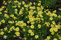 Galaxy Tickseed (Coreopsis 'Galaxy') at Plant World