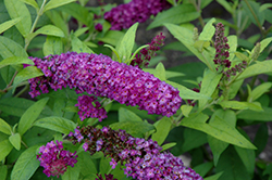 Crown Jewels Butterfly Bush (Buddleia 'Crown Jewels') at Plant World