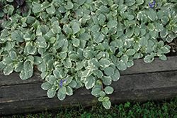 Silver Queen Bugleweed (Ajuga reptans 'Silver Queen') at Plant World