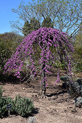 Lavender Twist Redbud (Cercis canadensis 'Covey') at Plant World