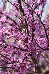 Ace Of Hearts Redbud (Cercis canadensis 'Ace Of Hearts') at Plant World