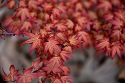 Corallinum Japanese Maple (Acer palmatum 'Corallinum') at Plant World