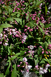 Yuki Cherry Blossom® Deutzia (Deutzia 'NCDX2') at Plant World