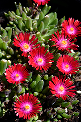 Jewel Of Desert Garnet Ice Plant (Delosperma 'Jewel Of Desert Garnet') at Plant World