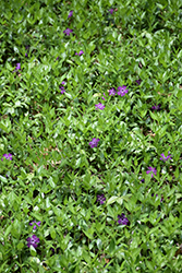 Burgundy Periwinkle (Vinca minor 'Atropurpurea') at Plant World