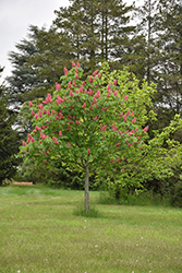 Fort McNair Red Horse Chestnut (Aesculus x carnea 'Fort McNair') at Plant World