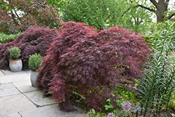 Crimson Queen Japanese Maple (Acer palmatum 'Crimson Queen') at Plant World