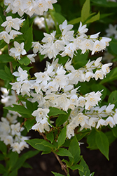 Chardonnay Pearls® Deutzia (Deutzia gracilis 'Duncan') at Plant World