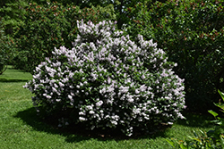 Miss Kim Lilac (Syringa patula 'Miss Kim') at Plant World