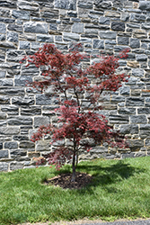 Red Spider Japanese Maple (Acer palmatum 'Red Spider') at Plant World