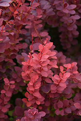 Ruby Carousel Japanese Barberry (Berberis thunbergii 'Bailone') at Plant World