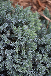 Blue Star Juniper (Juniperus squamata 'Blue Star') at Plant World