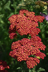 Strawberry Seduction Yarrow (Achillea millefolium 'Strawberry Seduction') at Plant World