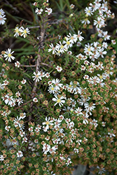 Snow Flurry Aster (Aster ericoides 'Snow Flurry') at Plant World