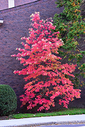 Sourwood (Oxydendron arboreum) at Plant World