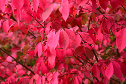 Winged Burning Bush (Euonymus alatus) at Plant World