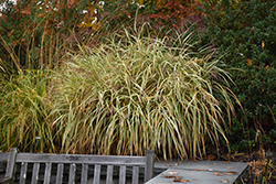 Dixieland Maiden Grass (Miscanthus sinensis 'Dixieland') at Plant World