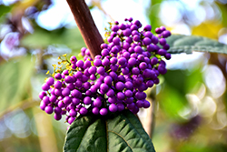 Profusion Beautyberry (Callicarpa bodinieri 'Profusion') at Plant World