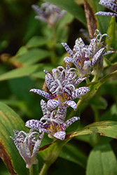 Toad Lily (Tricyrtis hirta) at Plant World