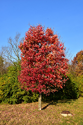 Autumn Flame Red Maple (Acer rubrum 'Autumn Flame') at Plant World