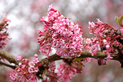 Dawn Viburnum (Viburnum x bodnantense 'Dawn') at Plant World
