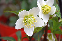 Gold Collection® Jacob Hellebore (Helleborus niger 'Jacob') at Plant World