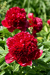 Red Charm Peony (Paeonia 'Red Charm') at Plant World
