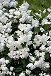 Snowbelle Mockorange (Philadelphus 'Snowbelle') at Plant World