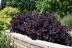 Royal Purple Smokebush (Cotinus coggygria 'Royal Purple') at Plant World