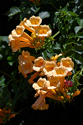 Yellow Trumpetvine (Campsis radicans 'Flava') at Plant World
