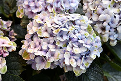 Everlasting Revolution Hydrangea (Hydrangea macrophylla 'Hokomarevo') at Plant World