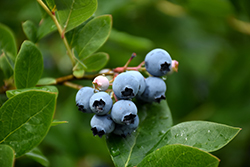 Northcountry Blueberry (Vaccinium 'Northcountry') at Plant World