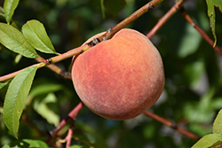 Redhaven Peach (Prunus persica 'Redhaven') at Plant World