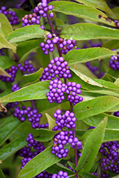 Issai Beautyberry (Callicarpa dichotoma 'Issai') at Plant World