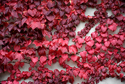 Veitch Boston Ivy (Parthenocissus tricuspidata 'Veitchii') at Plant World