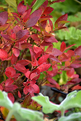 Jelly Bean® Blueberry (Vaccinium 'ZF06-179') at Plant World