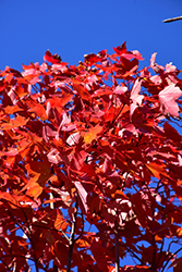 October Glory Red Maple (Acer rubrum 'October Glory') at Plant World